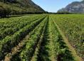 威尼姿产区主要生产白葡萄酒