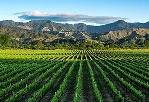云雾之湾酒庄位于怀劳谷的葡萄园
