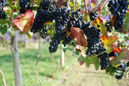 智利标志性红葡萄品种是什么?