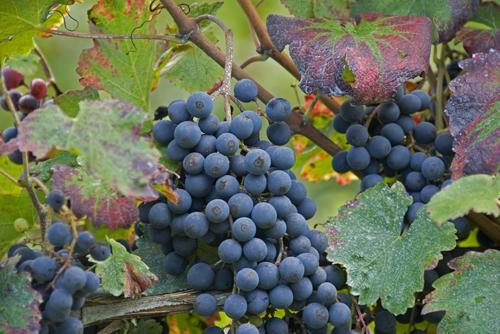 西班牙丹魄葡萄酒有什么特点?